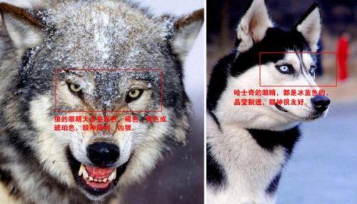 动物园狼舍现哈士奇 园方:在狼群中有地位