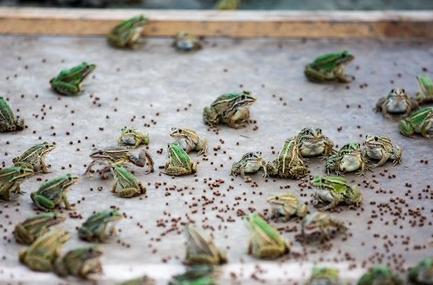 致富有 新招 稻田里长出了鱼虾蟹鸭 还能养青蛙