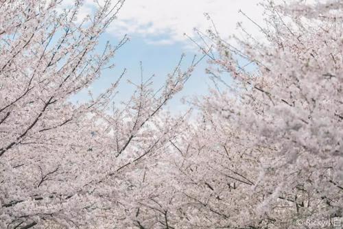 美爆了!上海虹口的樱花一点也不输日本!